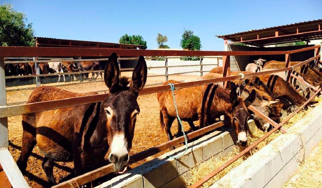 Ферма осликов «Golden Donkeys»